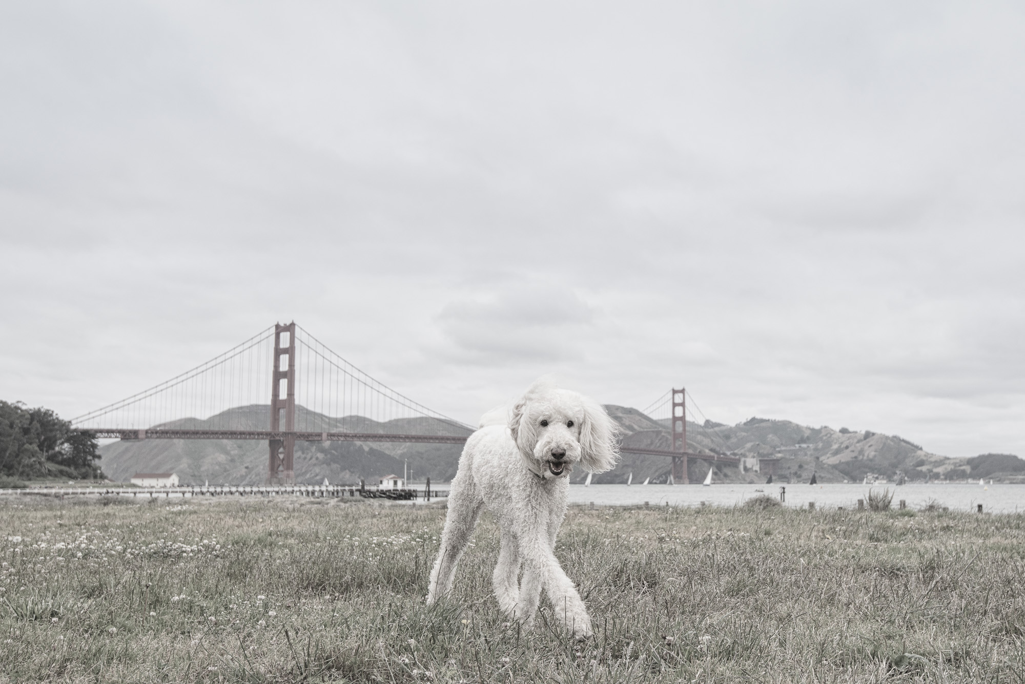 He's a 10 year old labradoodle named Ollie.