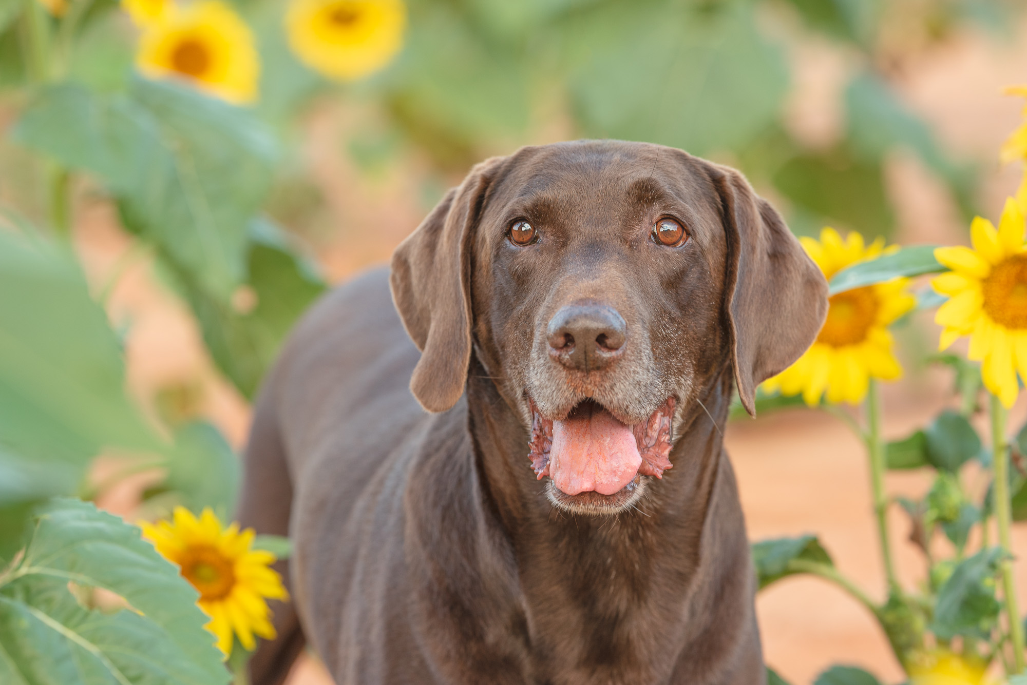 dogs and sunflowers photography.JPG