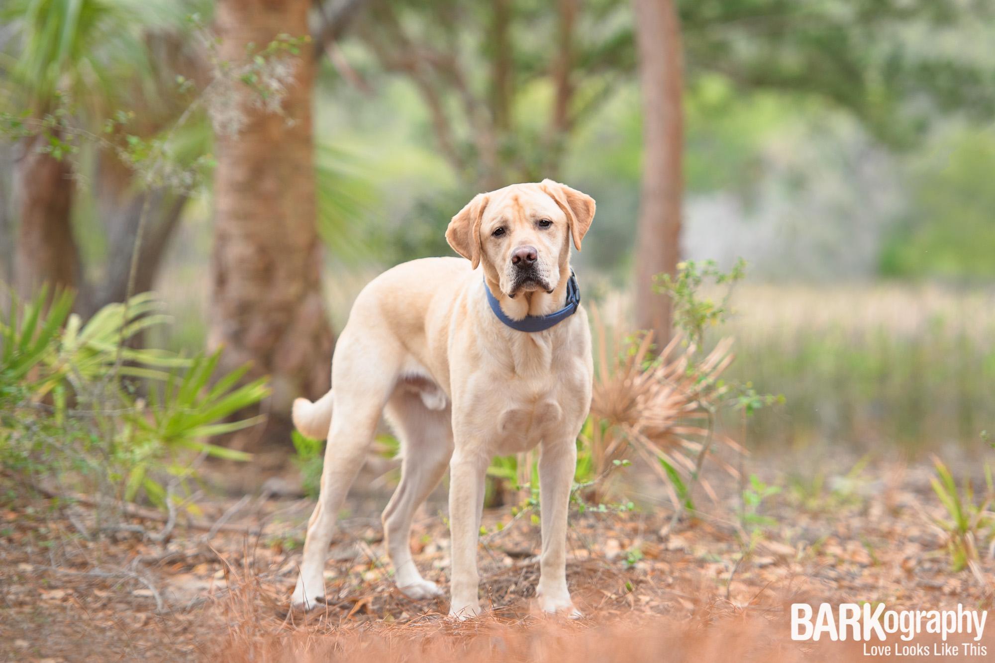 labrador retriever dog photography.JPG