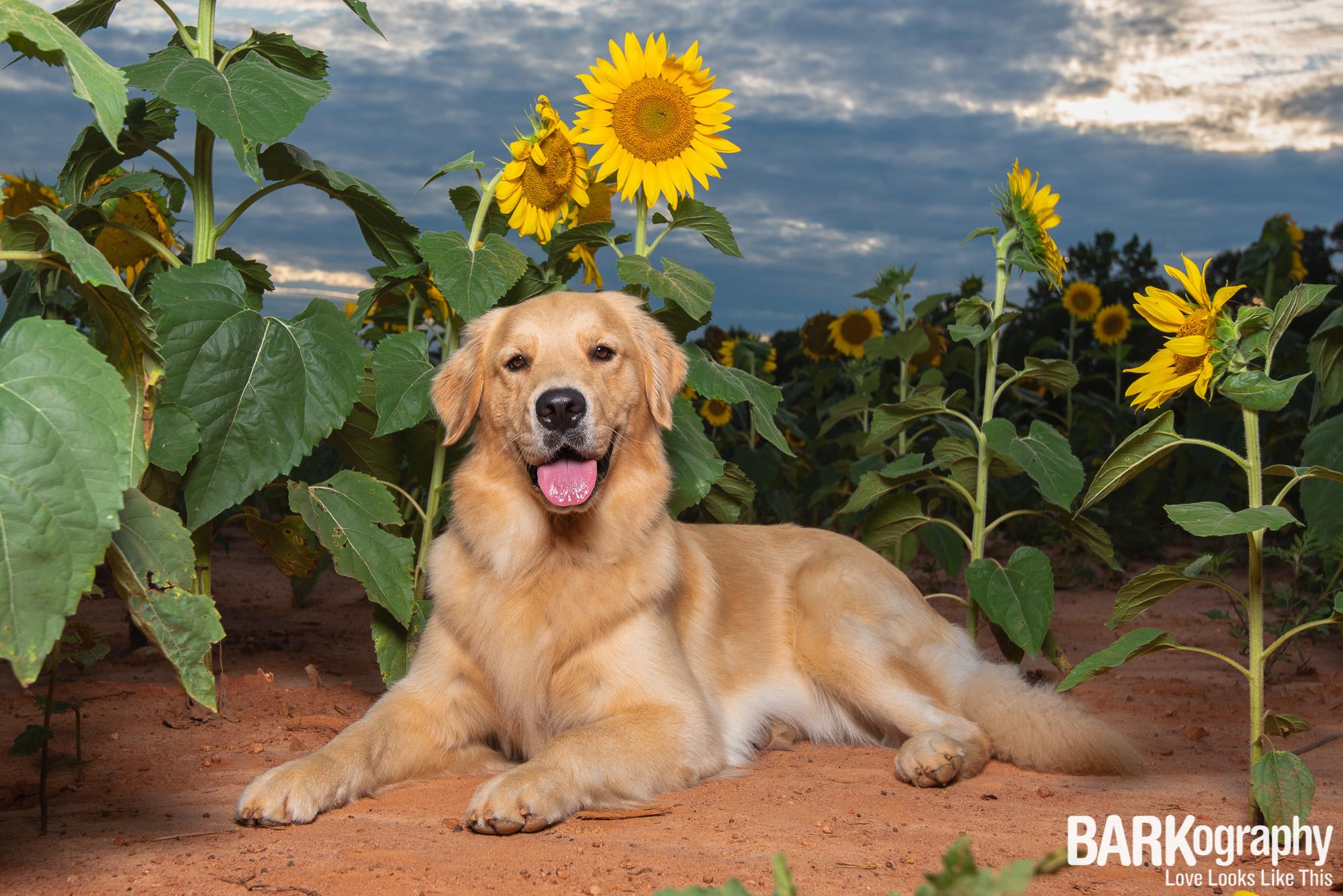 golden retriever dog photography.JPG