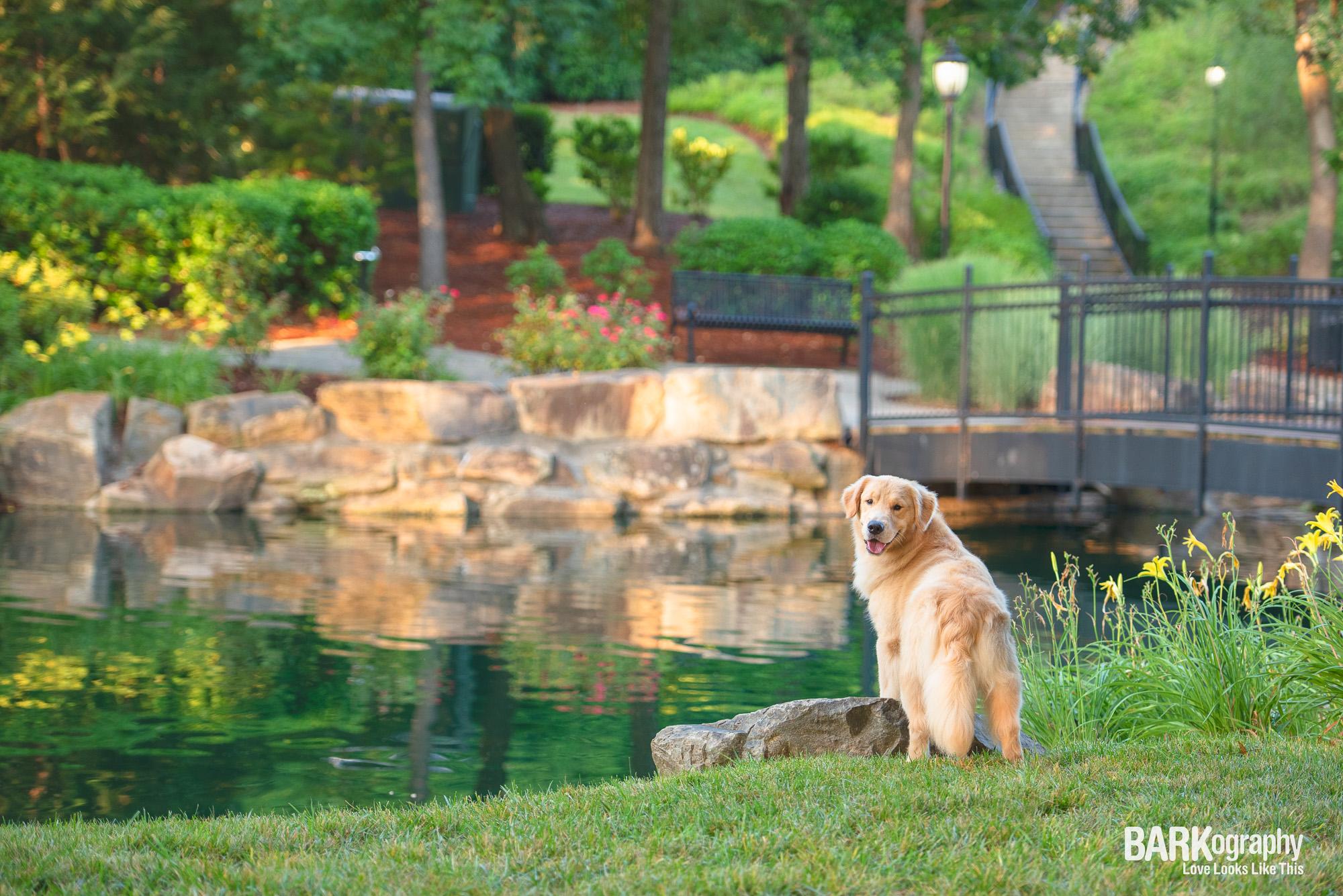 golden retriever photographer Charlotte NC.JPG