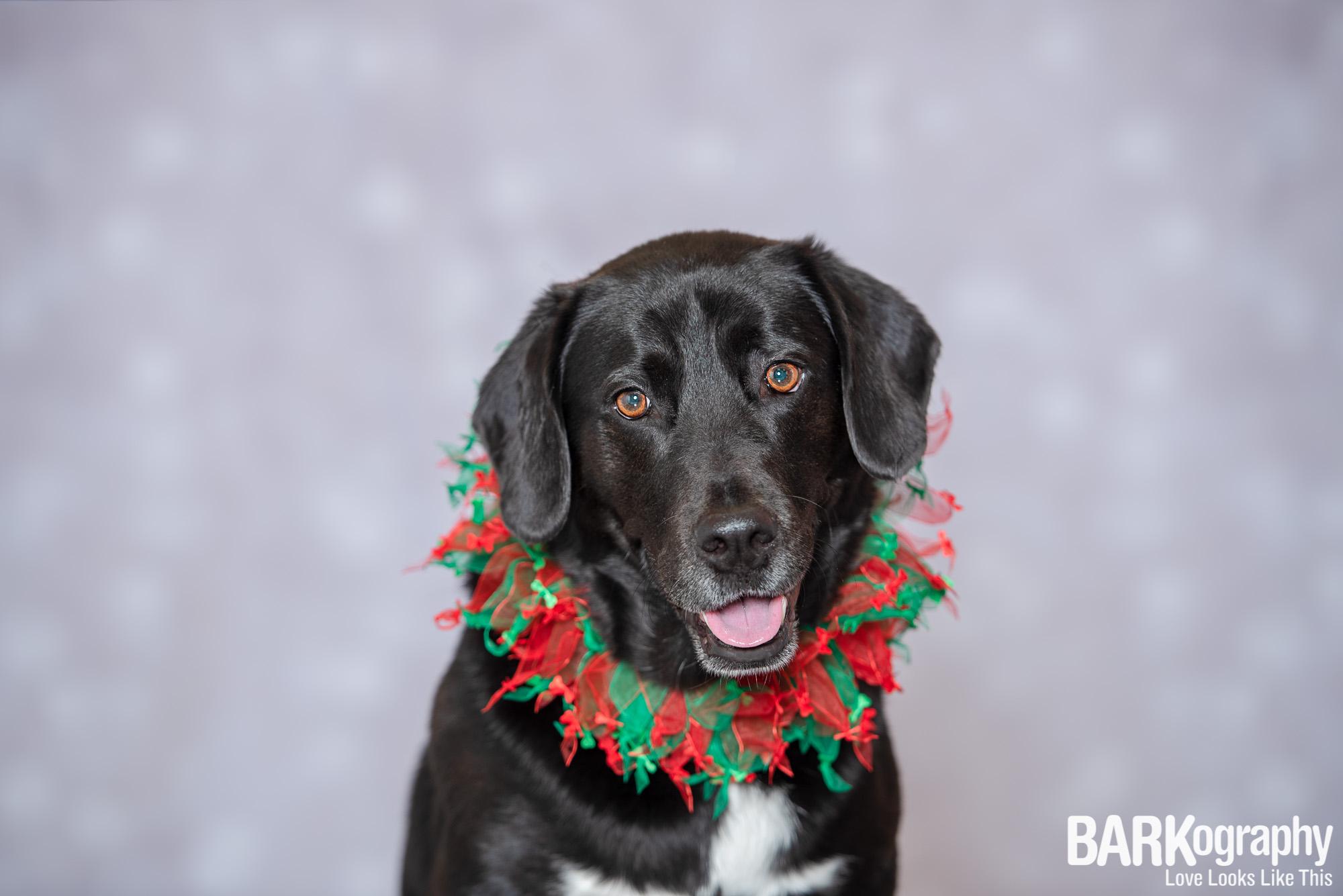 Charlotte NC Holiday Dog Photography.JPG