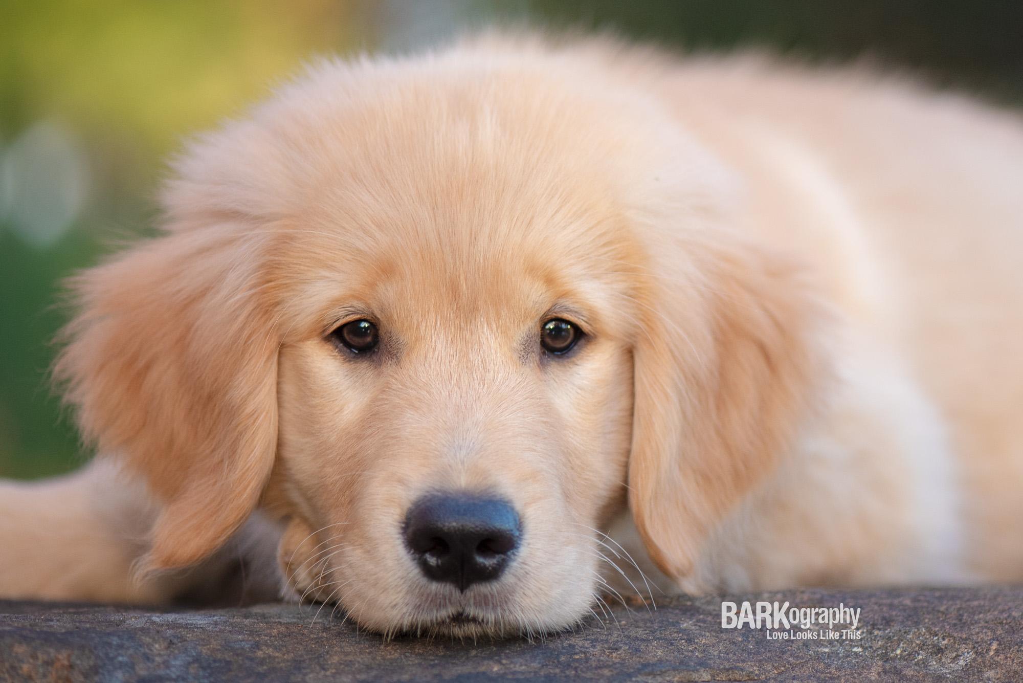 Charlotte NC golden retriever puppy.JPG