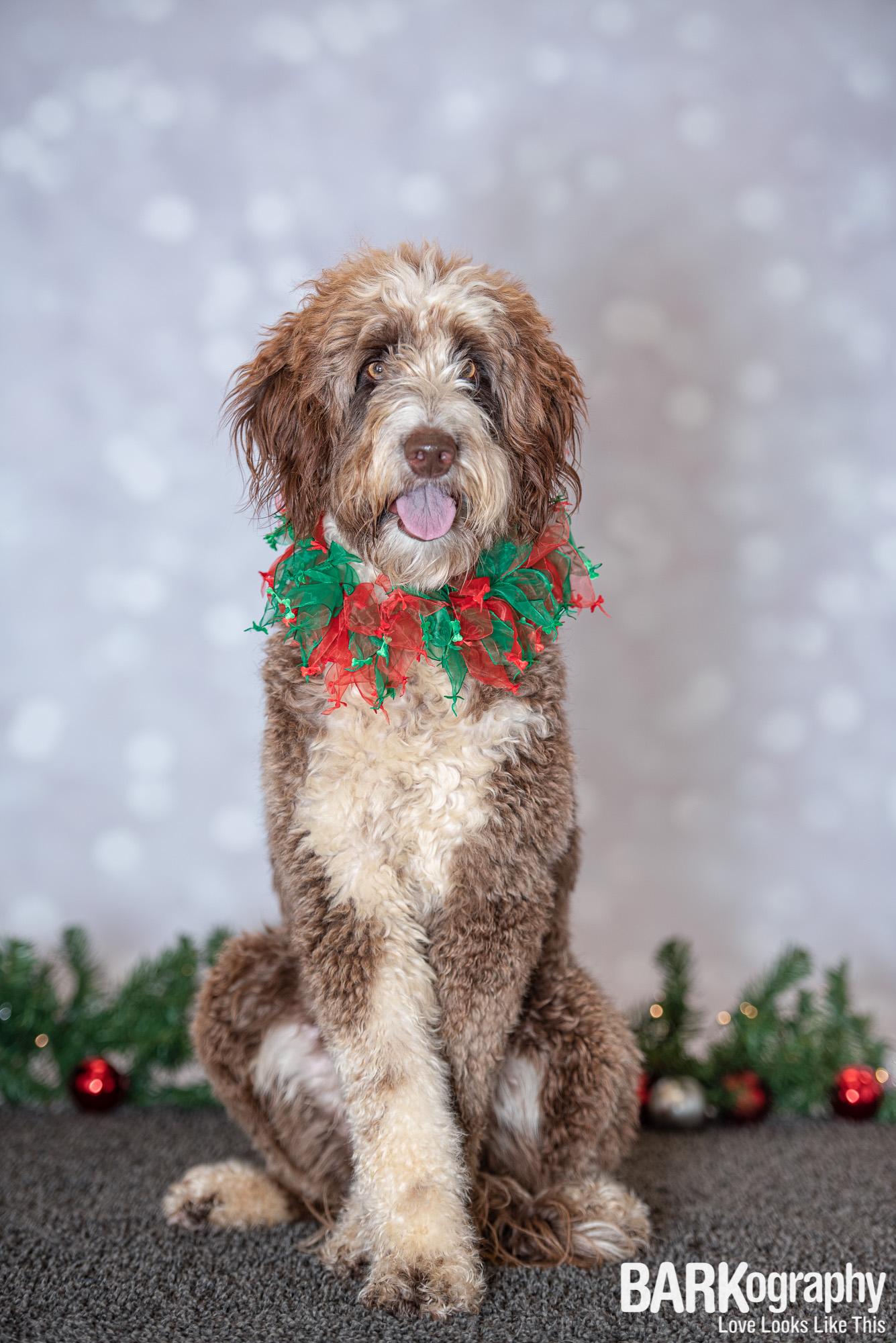 Charlotte NC Christmas Dog Photographer.JPG