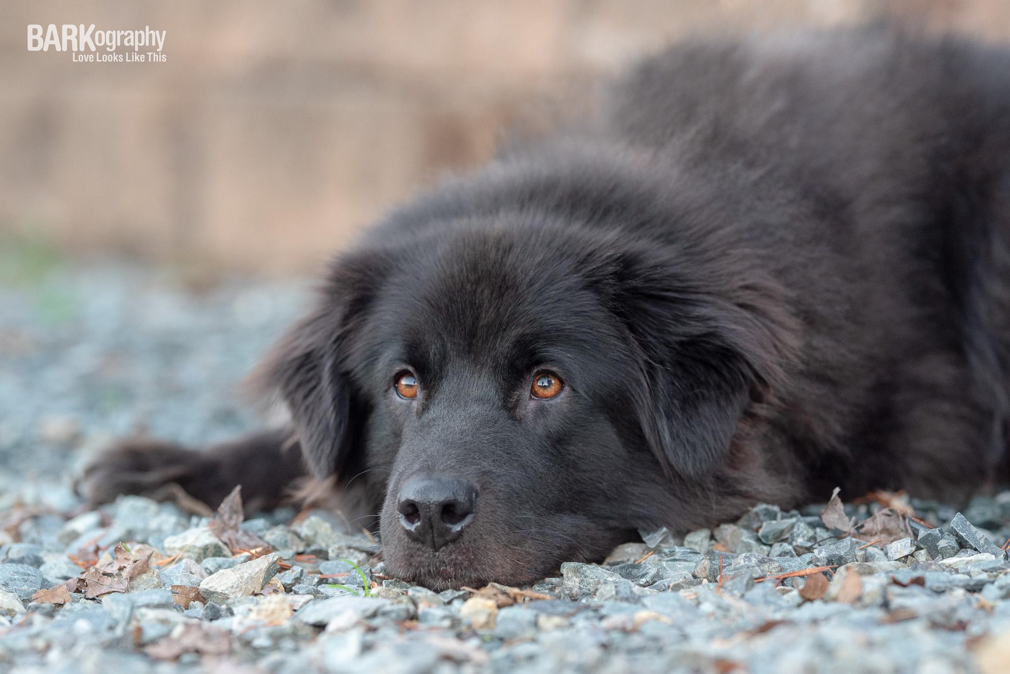 sleepy black dog pic