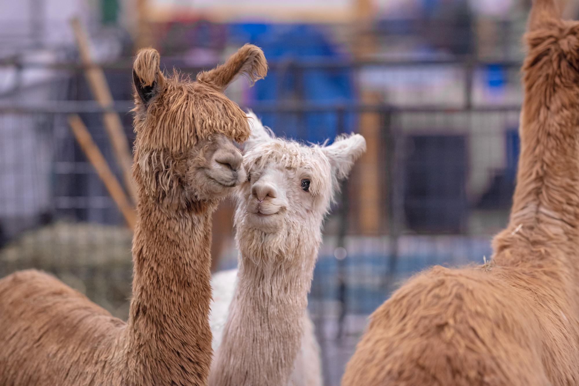 alpacas photos