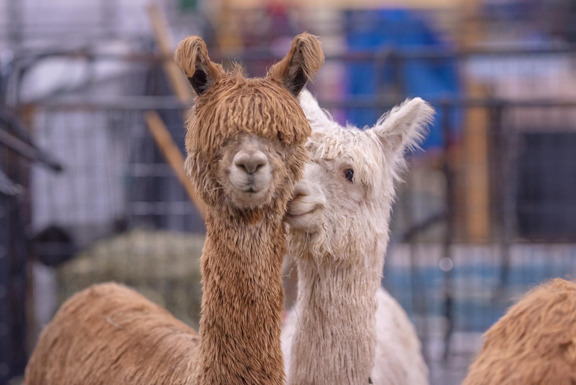 alpaca photos