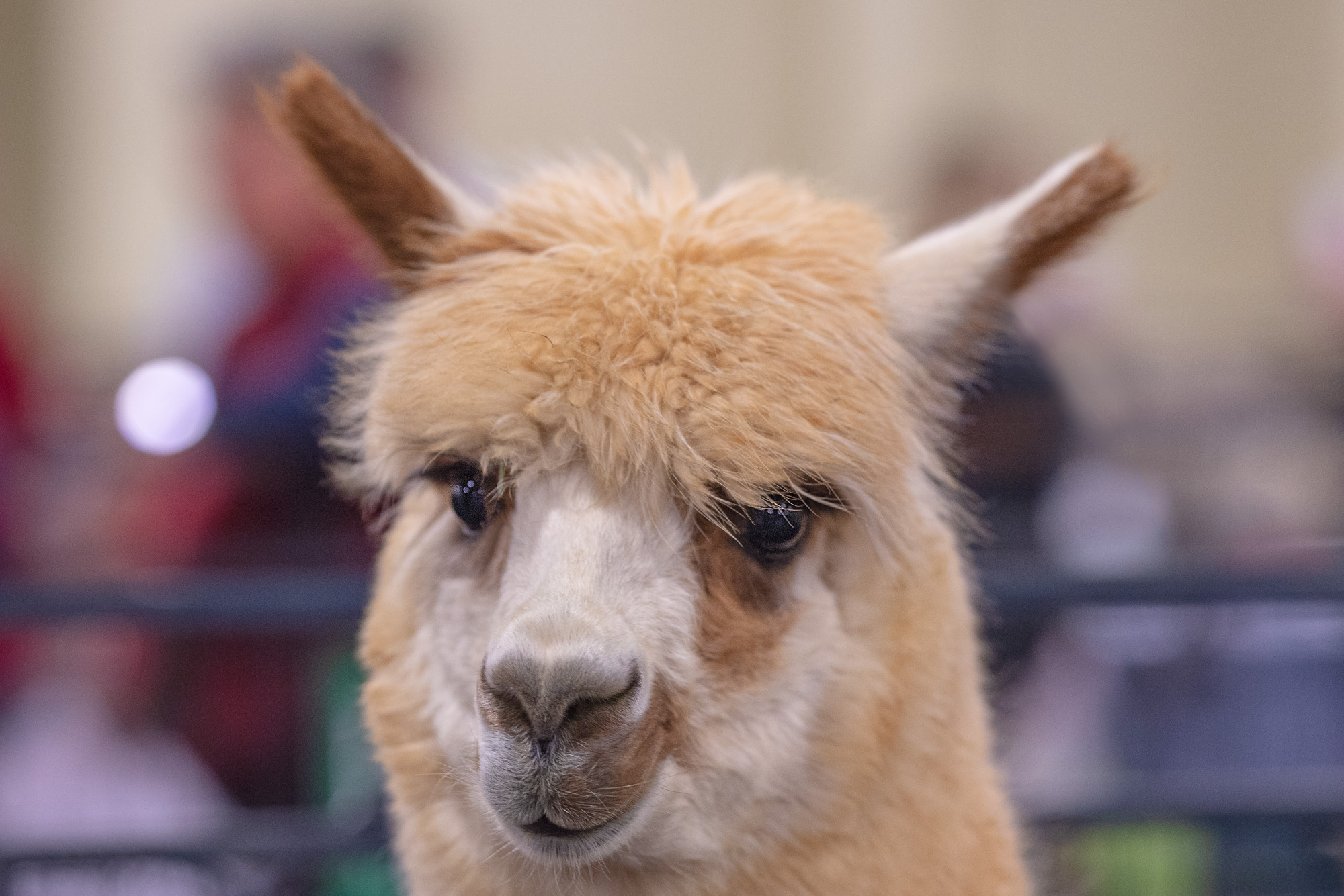 alpaca photography
