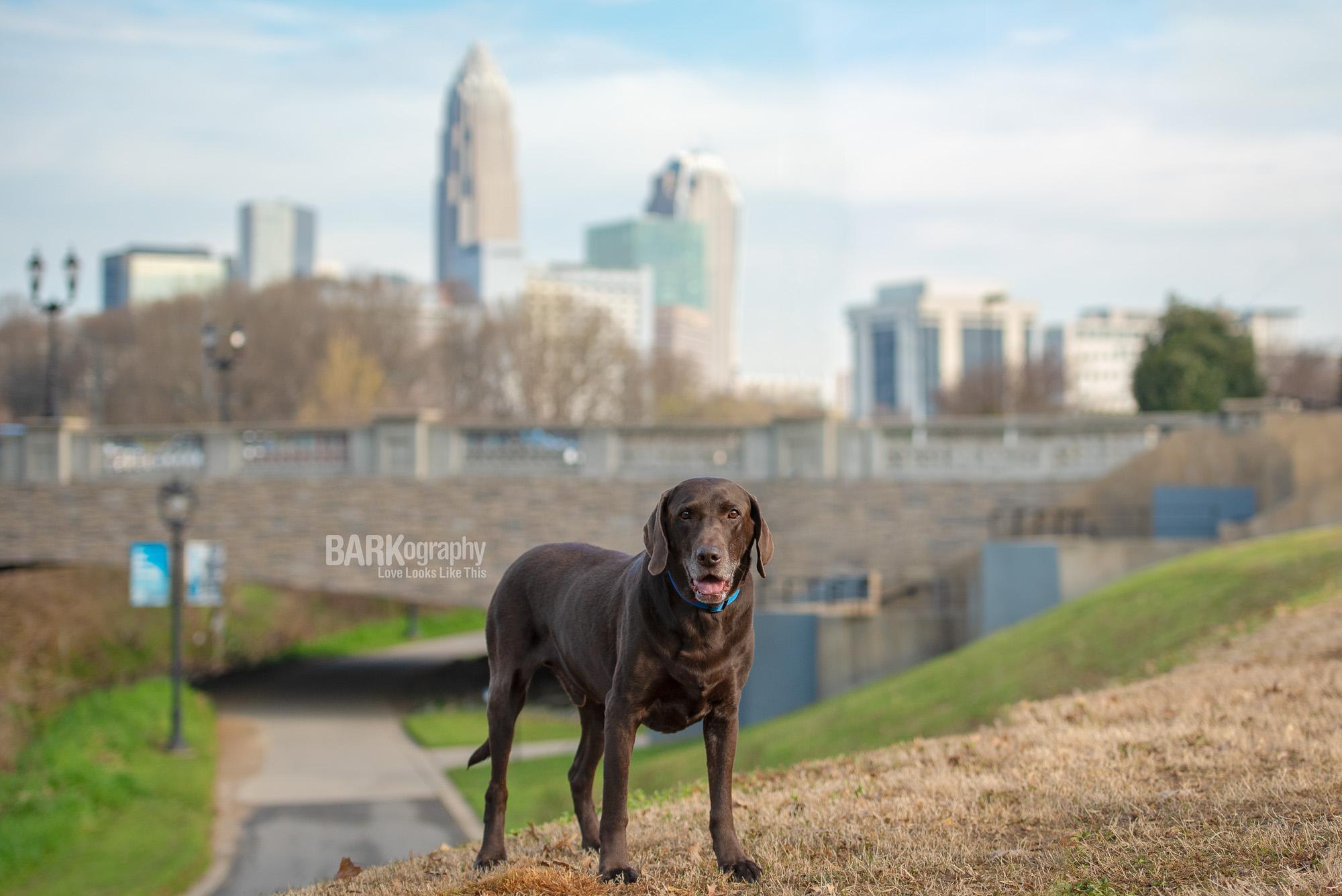 dog photo Charlotte NC uptown skyline background