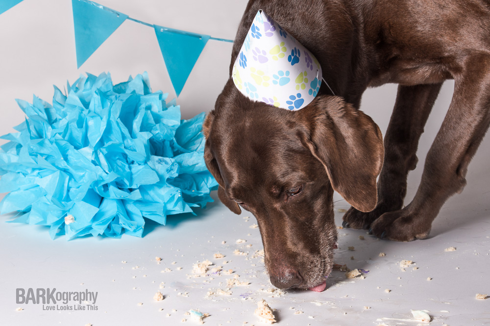 older labrador retriever dog birthday party