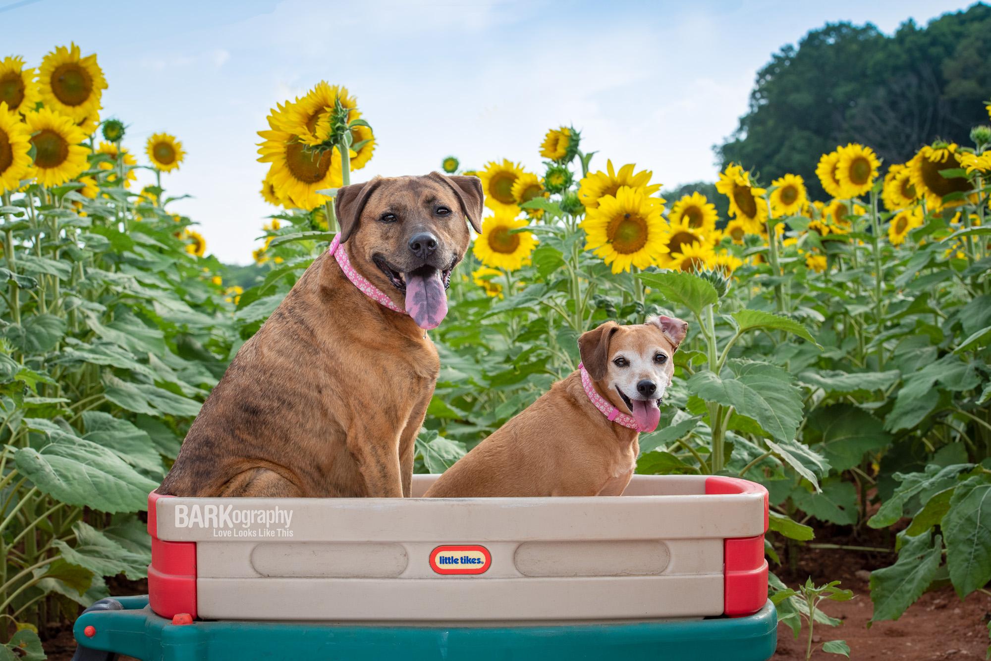 2 dogs in wagon in sunflower field