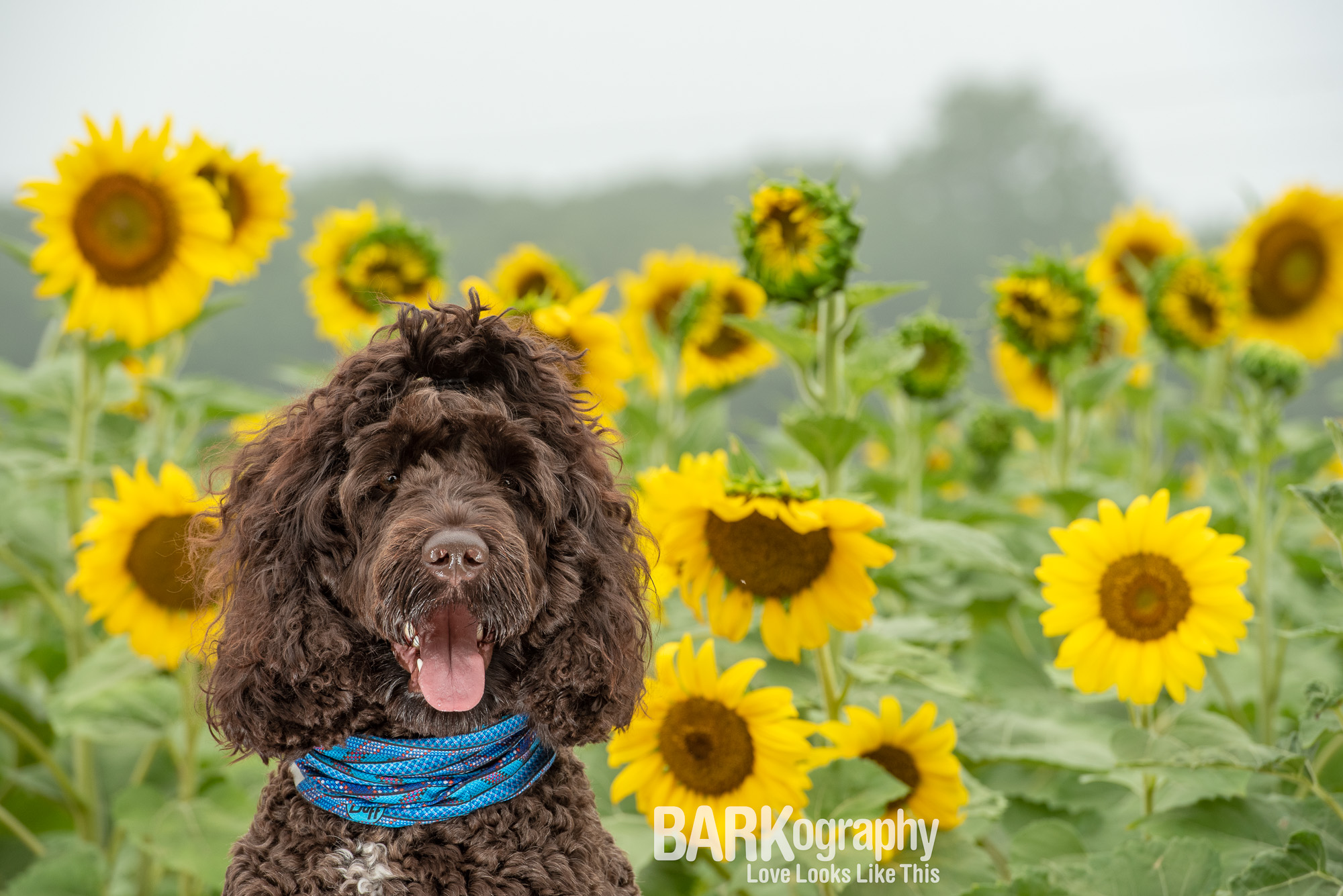 smiling large doodle dog in front of sunflowers