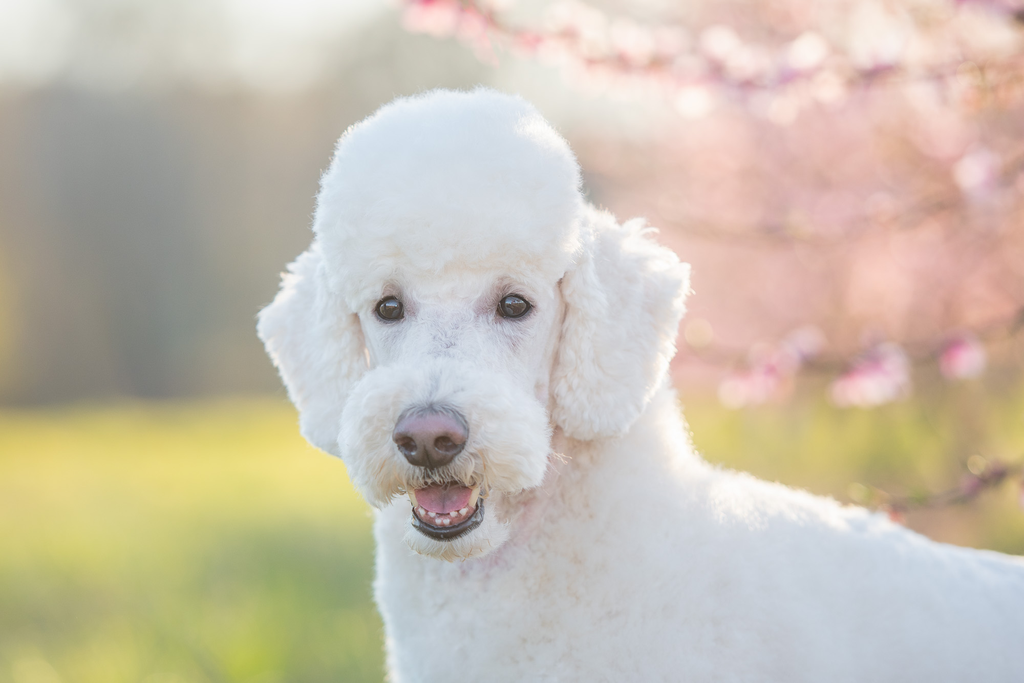 white standard poodle in peach blossoms photo