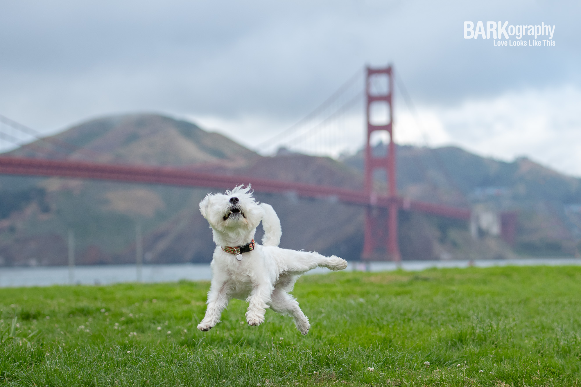 dog playing on Crissy Field with the Golden Gate Bridge in background