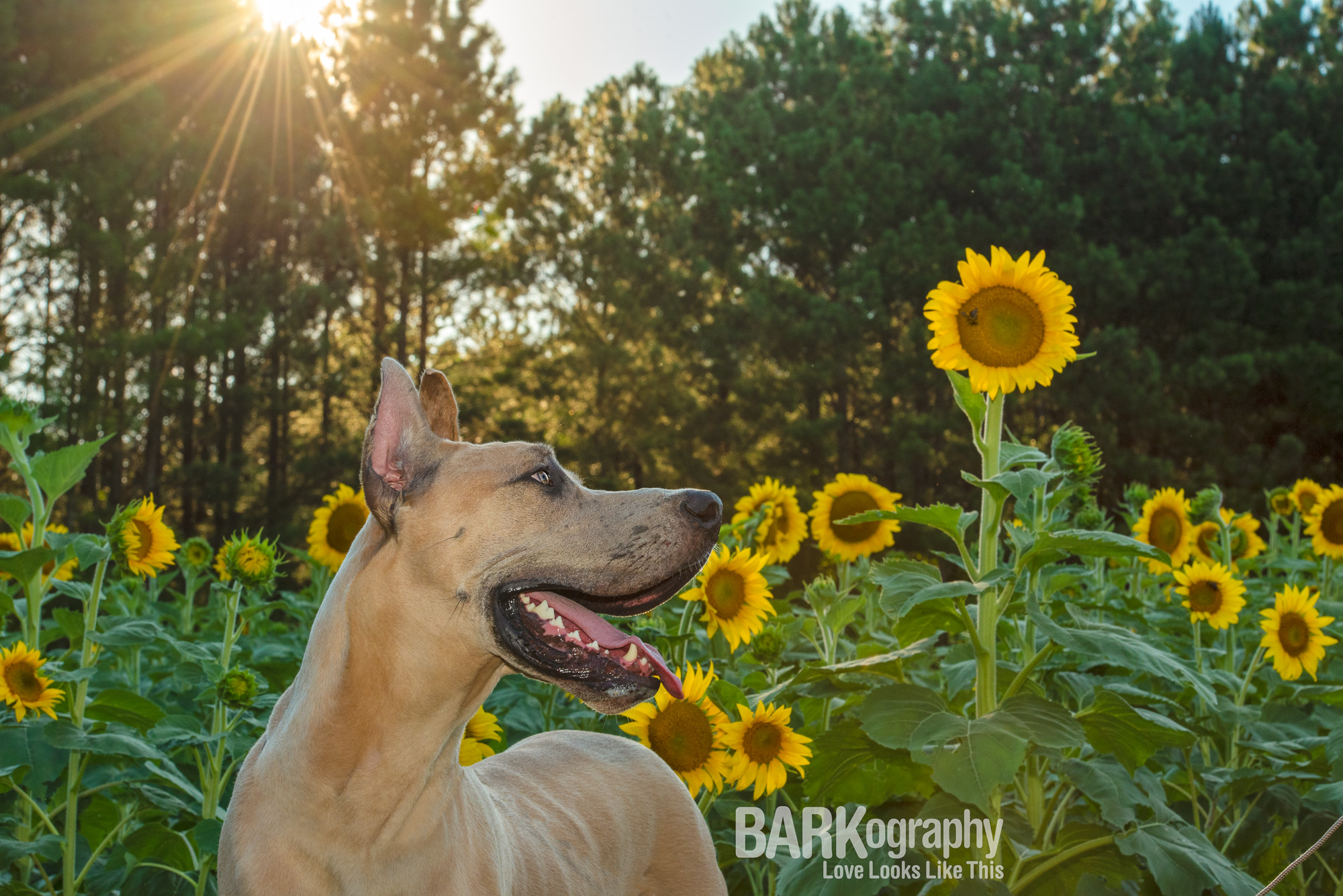 great dane in sunflowers at sunset photo
