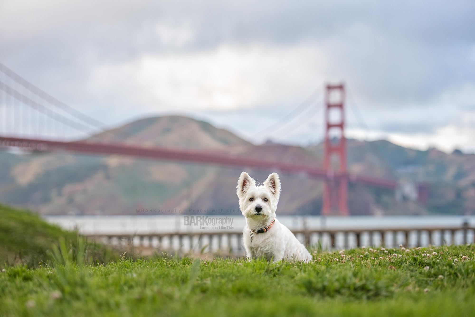 San Francisco Crissy Field Golden Gate Bridge dog picture