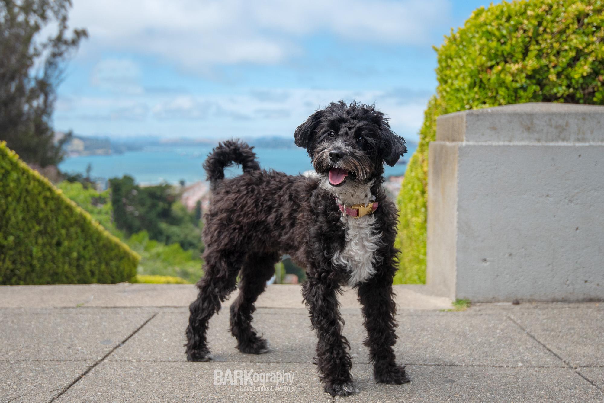 Painted Ladies San Francisco bulldog dog photo