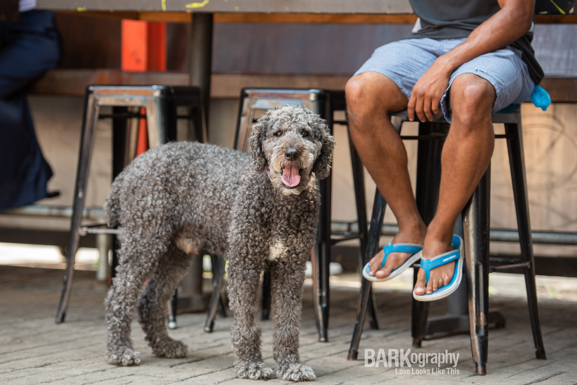 poodle Gus and his dad at a brewery in NoDa