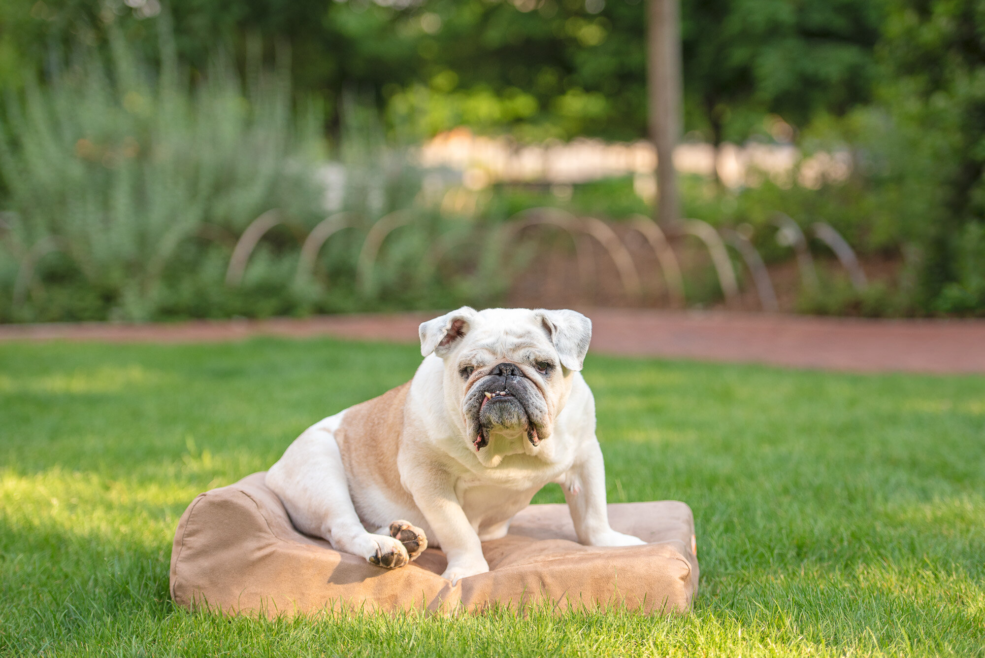 senior english bulldog photo Romare Bearden Park