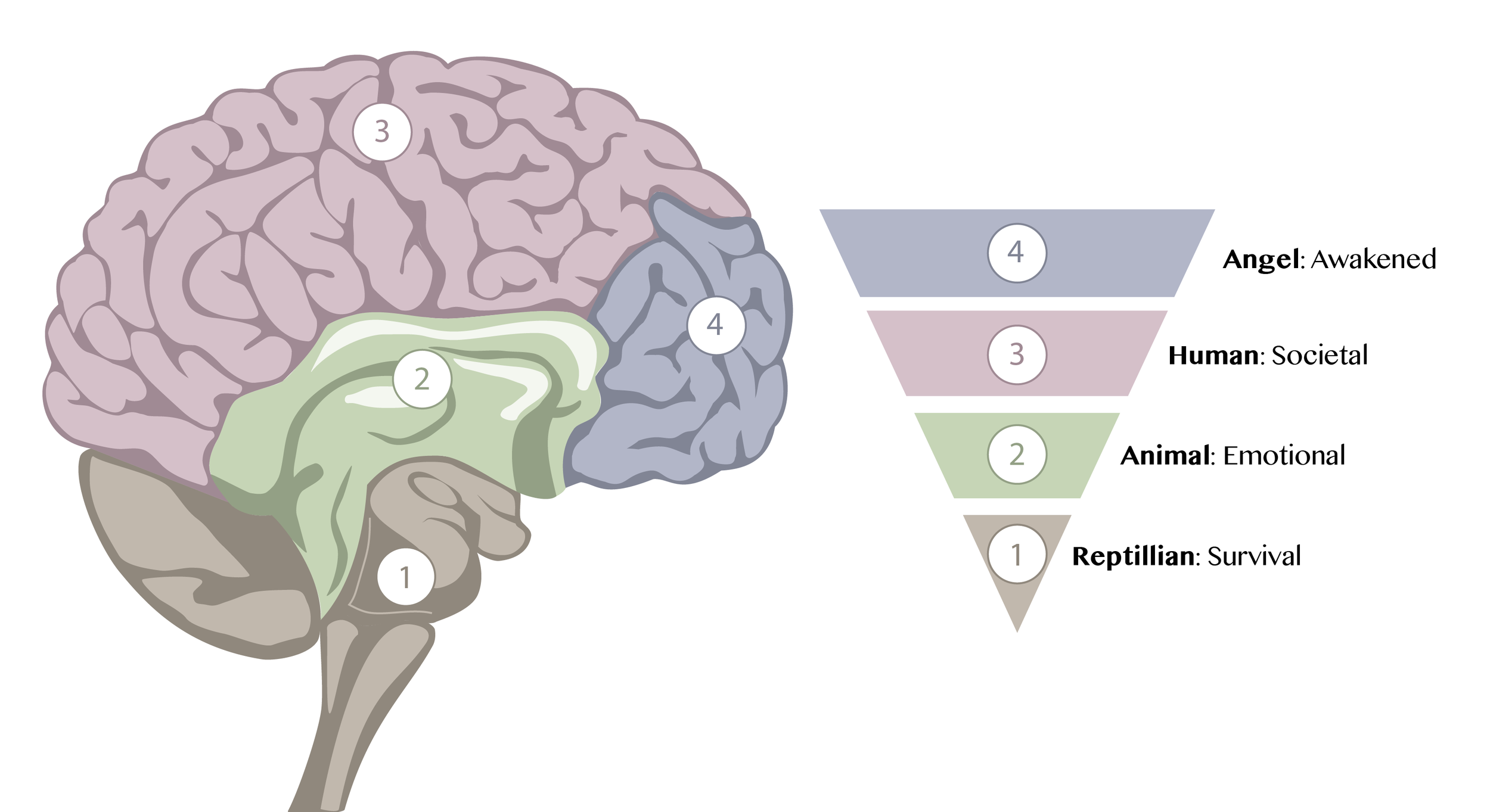 brain regions graphic designer.png