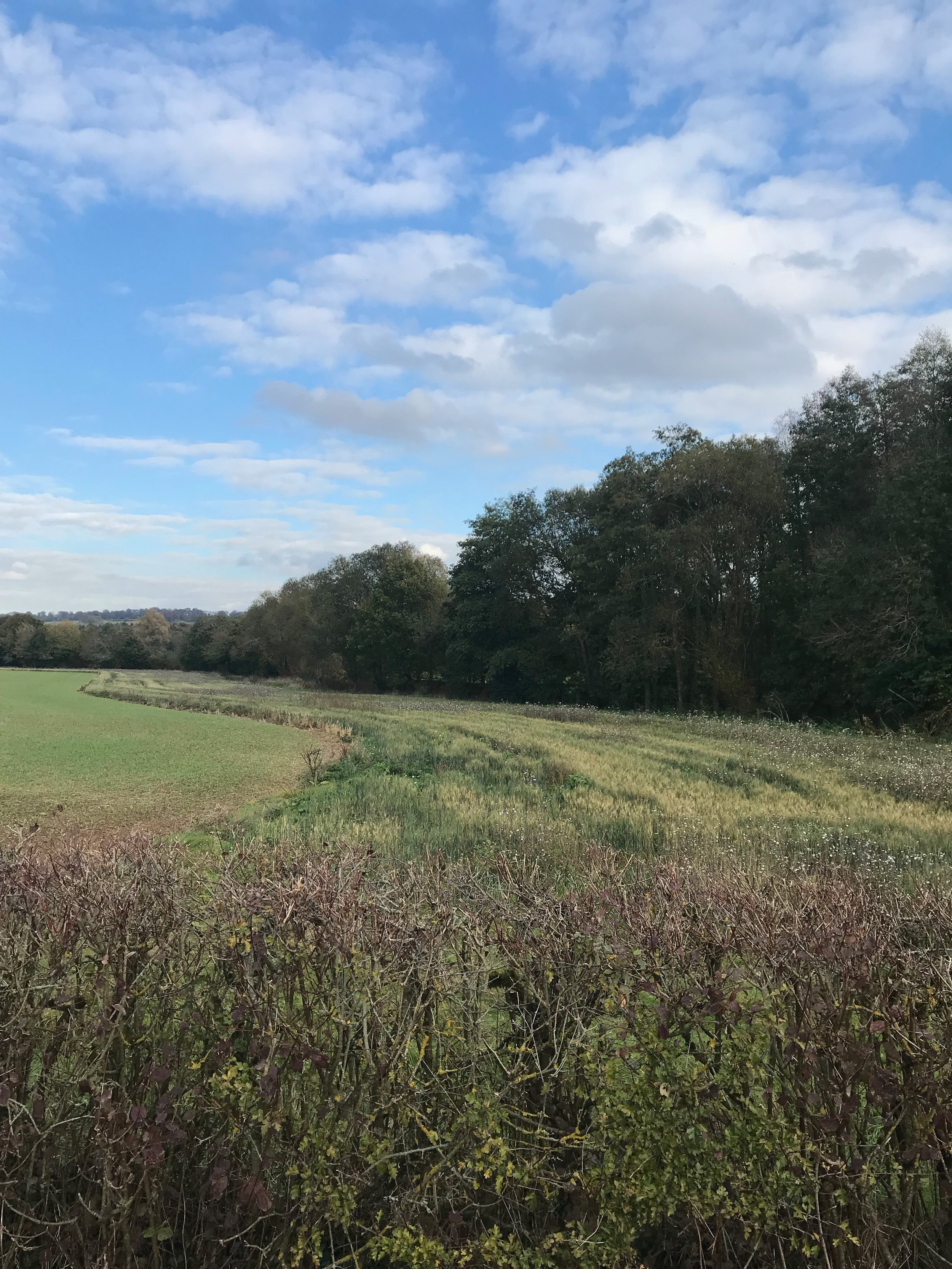 An organic field in Gloucestershire which has allowed a large wildflower margin alongside the crop.