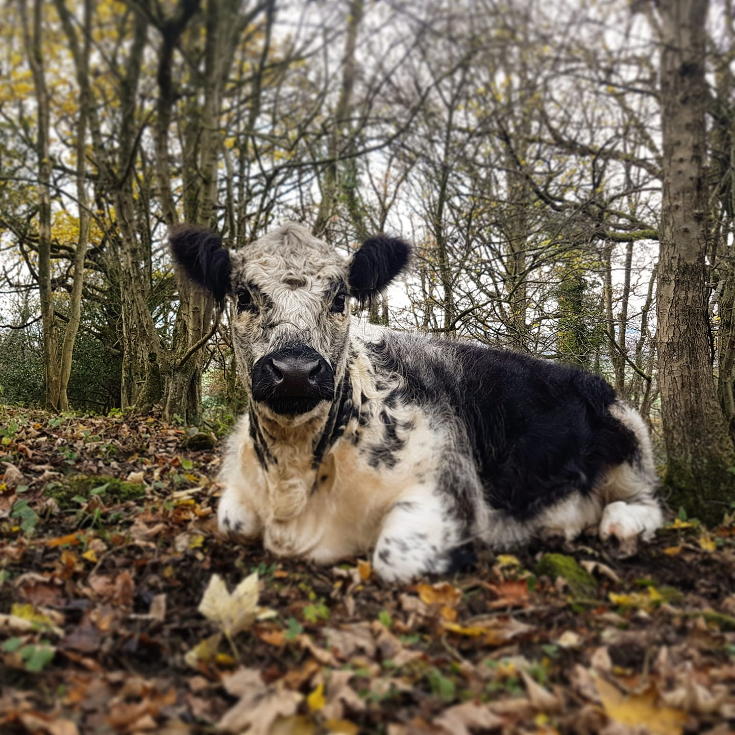 I buy beef from The Horned Beef Company who have hardy breeds grazing and browsing woodland and scrubland and are tough enough to be outdoors all year. Their positive impact on the landscape they graze is huge. Pic from THBC website.