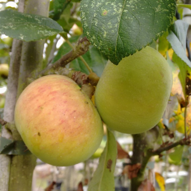 Gilly juice apples