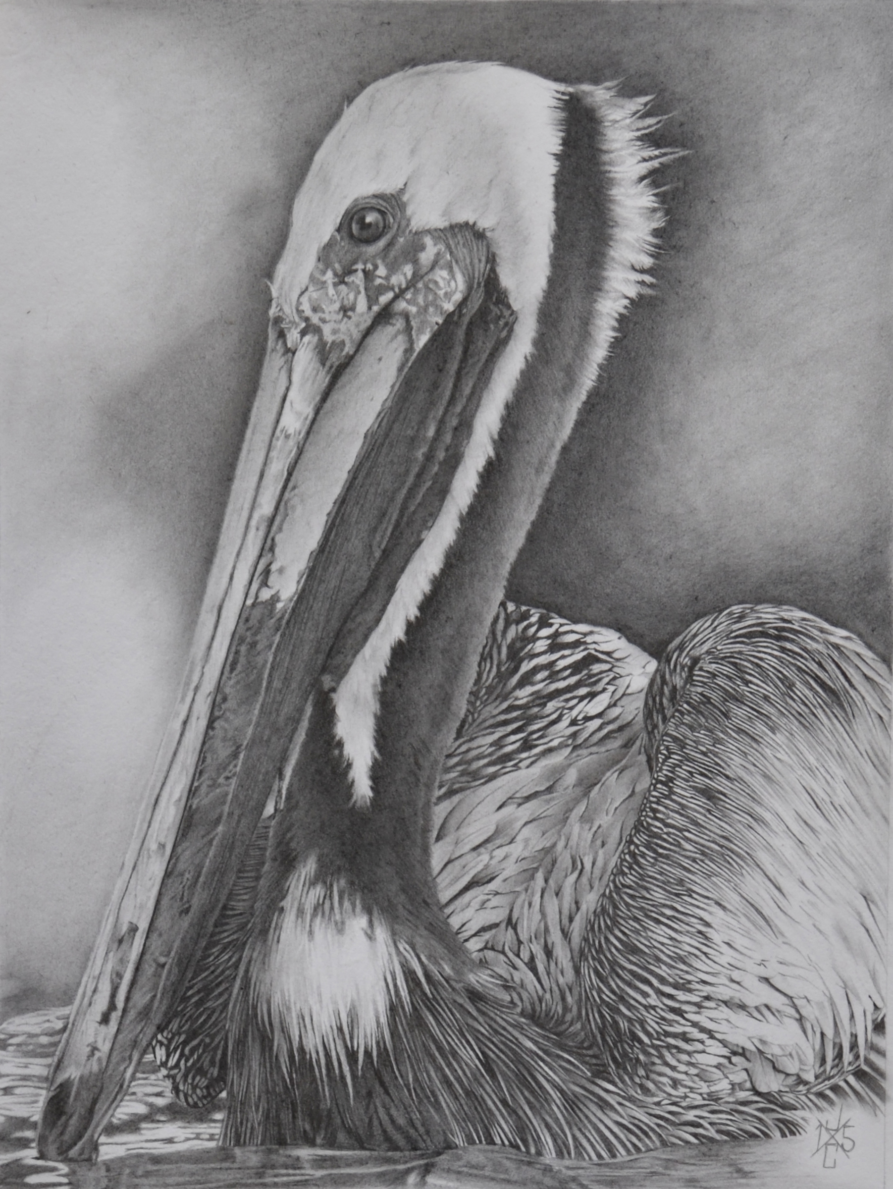 Brown Pelican #1