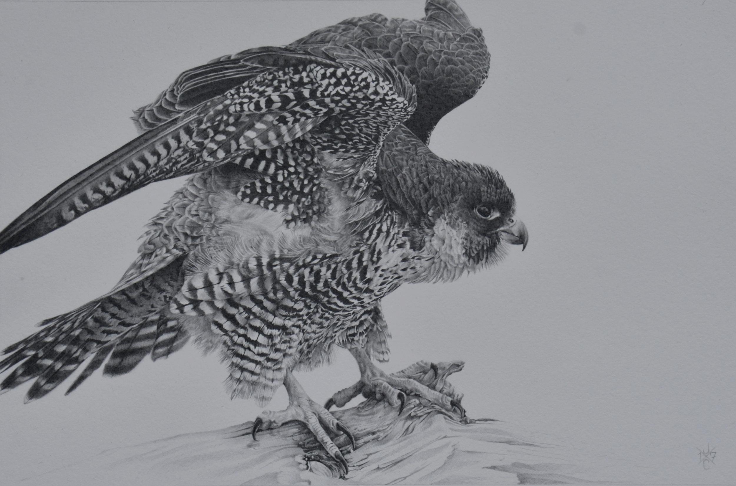 Peregrine Falcon #1
