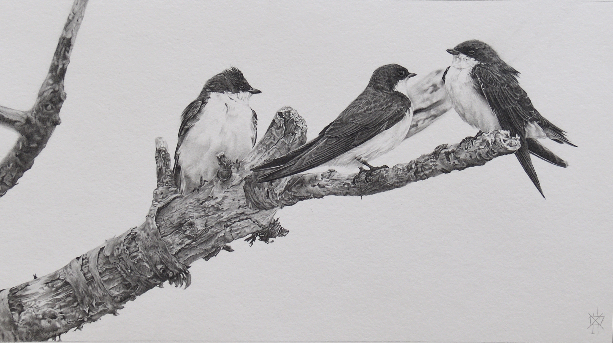 Tree Swallows #1