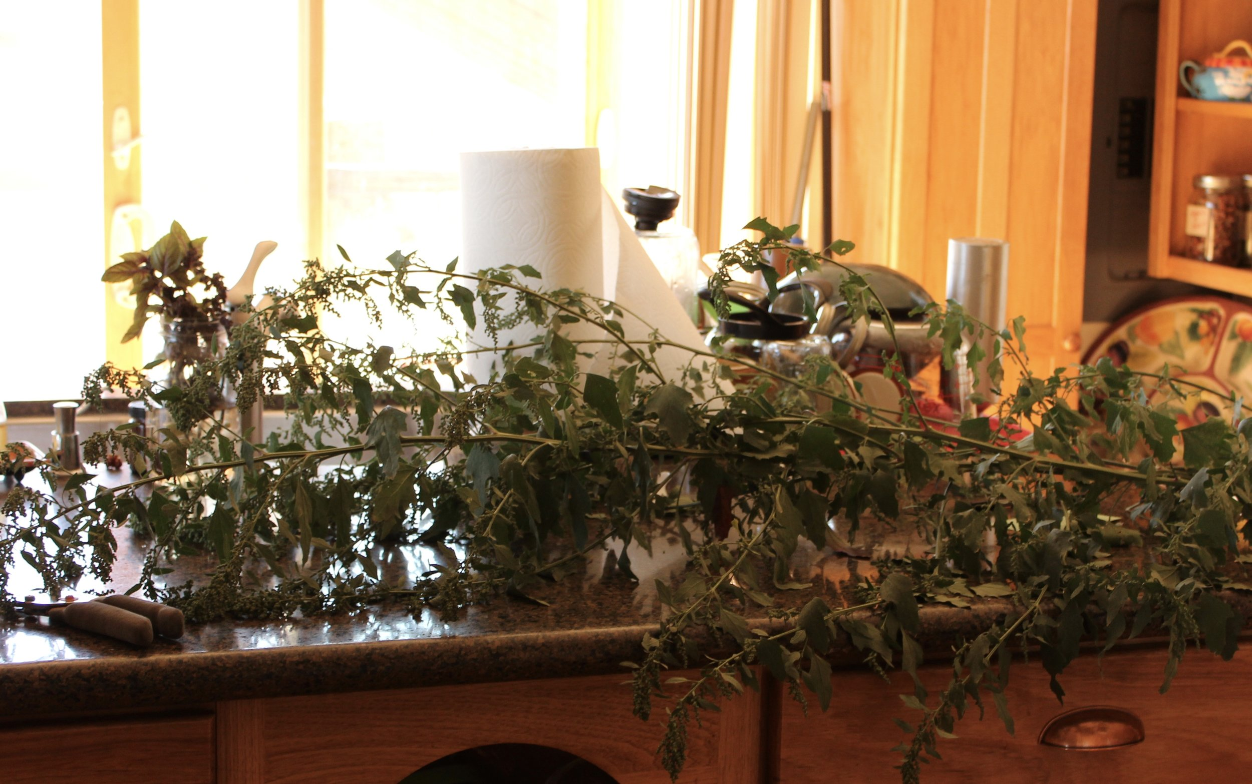 Here are two stalks I cut.  They are about 5 feet long.  You can see the woody stalk and the smaller stems with the leaves and flowers growing off them all the way up.  Sorry about the dishes in the background...I don't have a dishwasher, so they dry out! :-)