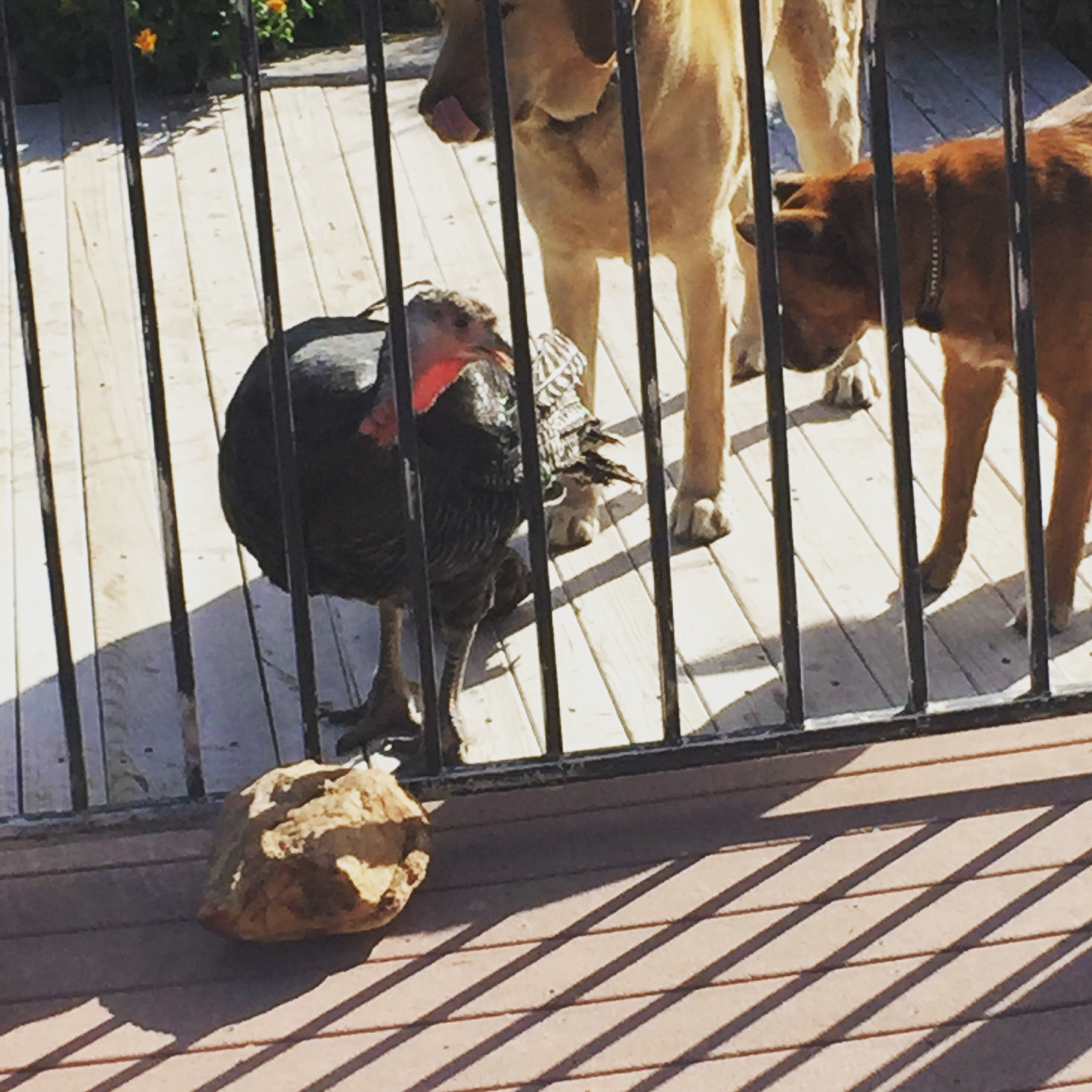 Our boys with Mama Hen.  She would go every where with them.  Here, they are waiting on me.  I'm coming! :-)