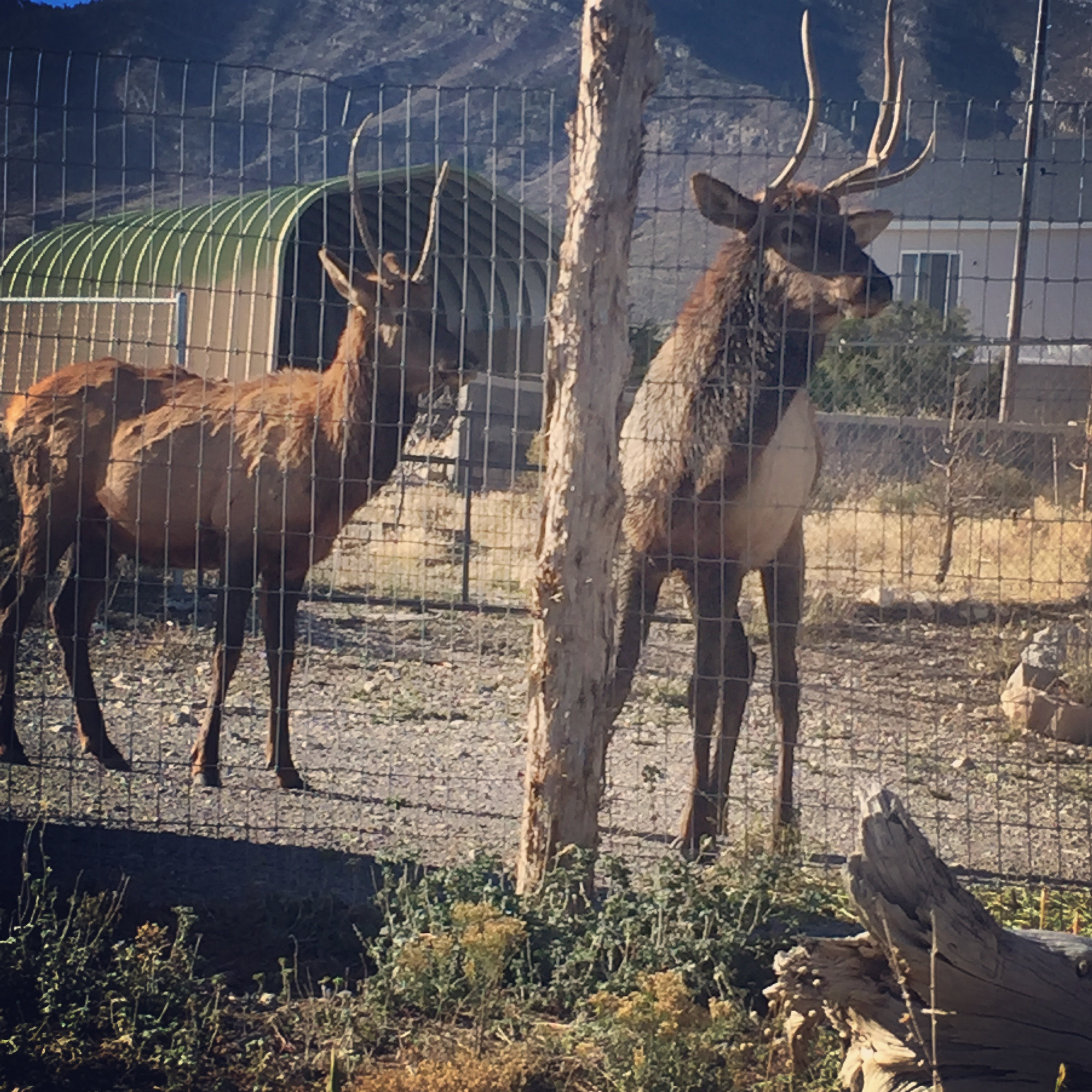 "A couple little spike bull elk stopped by to say, ""Hi,"" and see if there were any hand outs coming their way.  Not from our place! See those horns?  They can really hurt a horse if they want to badly enough.  Plus---they eat our fruit trees if they get in!  Yep! That happened last year!"