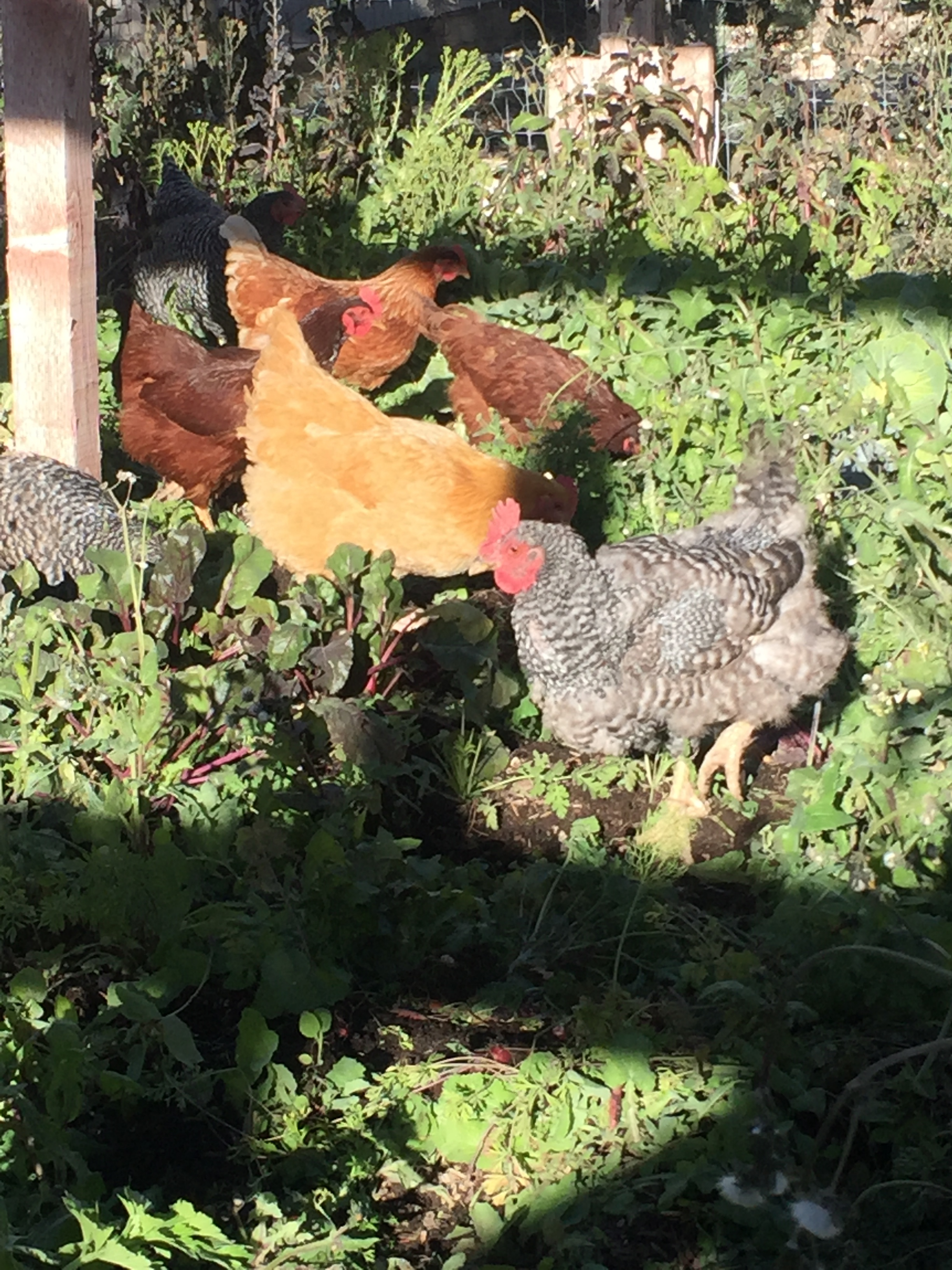 The chickens' first day in the Fall garden.