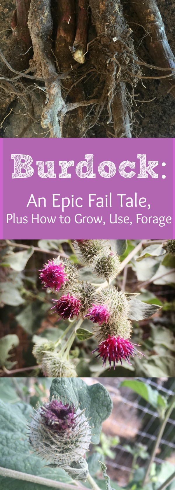 Flowering Burdock---Yep, it's too late for those roots now, as I sadly found out! Find out how to grow, use, and forage for Burdock!