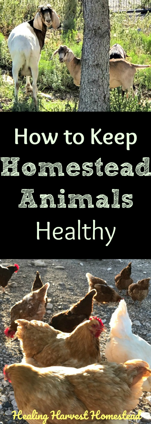 """Livestock-type animals and poultry have special health needs, and many veterinarians don't work on these """"specialty"""" animals. Here's how to keep your chickens, goats, and rabbits healthy, and what items you should keep in your pet medical emergency kit...just in case. Advice from experienced experts about homestead animal care and health."""