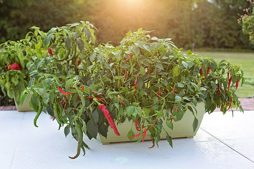 Cayenne Peppers in a container. Container gardening is beautiful, possible, fun, and useful!