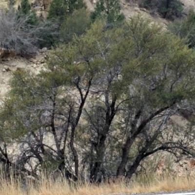 The Mountain Mahogany is native to the Southwestern United States. It may be found as a scrubby bush or a decent looking tree, as shown here.