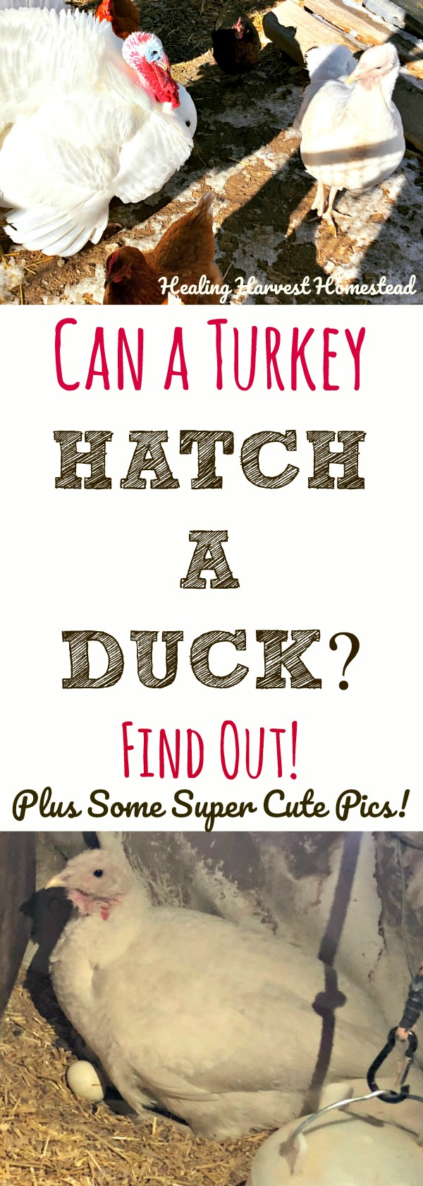 """Can a turkey hatch a duck? Can a chicken hatch a turkey? Can one bird hatch another? I would have said, """"No."""" Regardless of what you think....here are some super CUTE pictures, AND the answer to your question!"""