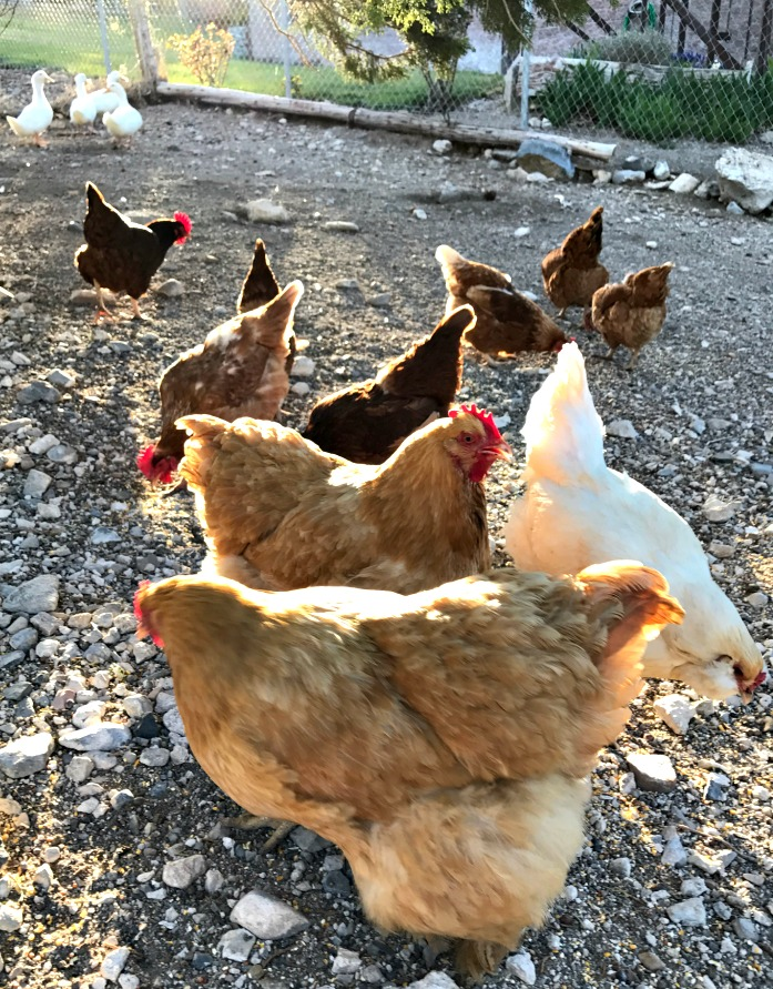 We keep chickens, ducks, & turkeys. And usually, the chicken eggs help supplement the feed cost significantly---AND we get fresh eggs, good meat, and delicious bone broth.