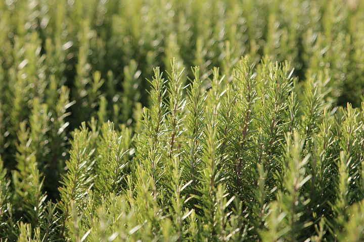 Besides being a pungent and delicious culinary herb, rosemary provides medicinal qualities and enhances memory.