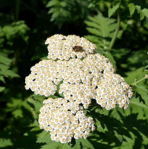 Known as the Battlefield Flower during the Civil War times, Yarrow is useful for helping clot wounds and healing injuries, among many other things.