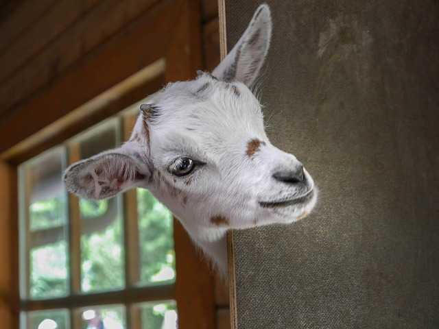 Is there anything cuter than a baby goat?