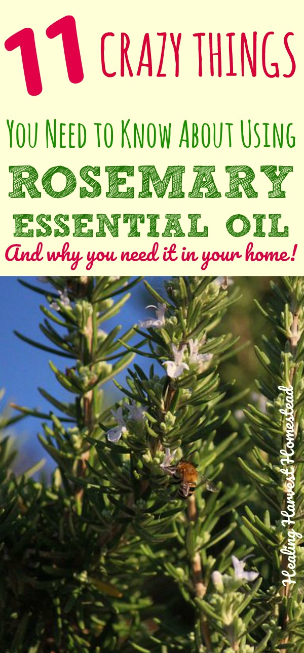 Rosemary-- Said to bring you luck! But there is a LOT more to Rosemary than just cooking and luck. What is rosemary essential oil used for? So many things, friends! Find out all about the benefits and uses of rosemary essential oil and why you really need it in your home. Every medical kit should have rosemary essential oil! And it's great for a multitude of things to help you!