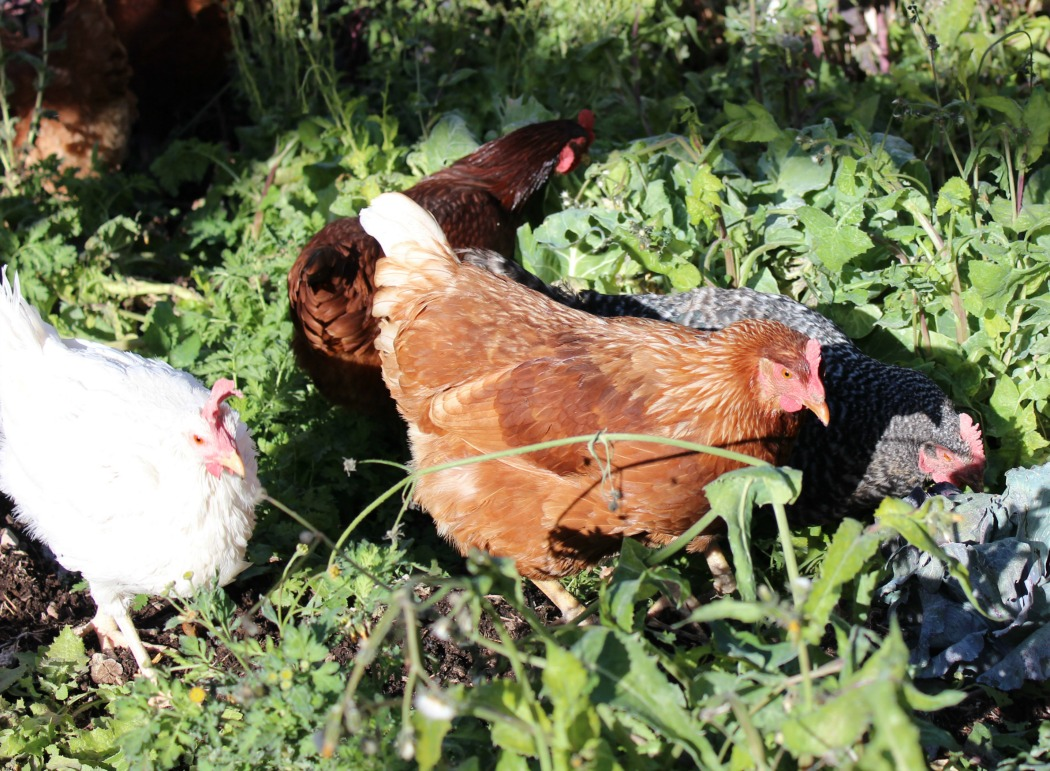 When it's time to clean up the garden in the Fall, chickens are the perfect way to go about this. Not only do they provide eggs and meat, but they can help in the garden too!