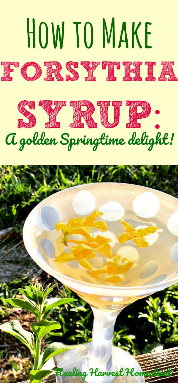 Find out how to make forsythia syrup in three easy steps! Also, what is forsythia, and how is it useful to us? Forsythia is a pretty fascinating plant, it turns out, besides being beautiful. So, here are directions for you to make this simple herbal syrup using forsythia.