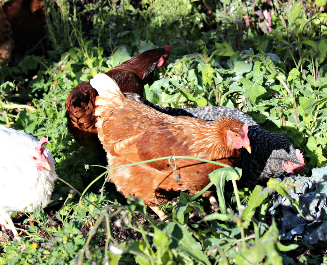 Healthy backyard chickens, especially if they can free-range, yield healthy eggs. These fresh eggs have very low instances of bacterial contamination and do not need washing.