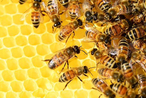 Bees making honey in the comb.