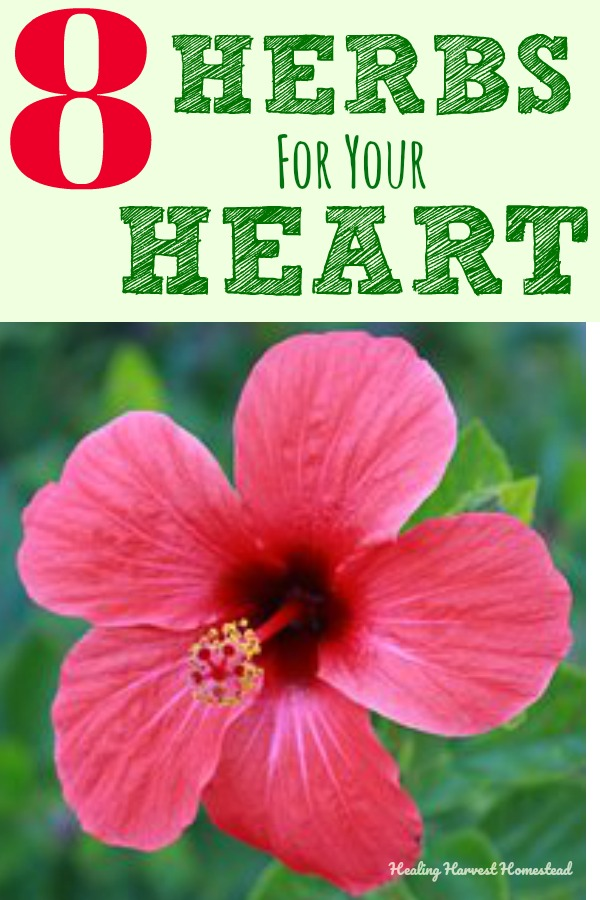 After some recent heart issues, I began a serious herbal heart tonic regimen. Here are eight powerful herbs you can use to support your own heart health. It's possible to have a healthy heart at any age, and using herbs and plant medicine can help you on this journey. Here are the herbs I use and how I use them to support my circulatory system. #heart #hearthealth #herbal #herbsforheart #herbs #benefitsofherbs #healthyheart #plantmedicine #herbalism