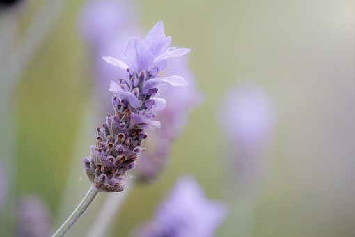 Beautiful lavender---It has so many benefits and uses!